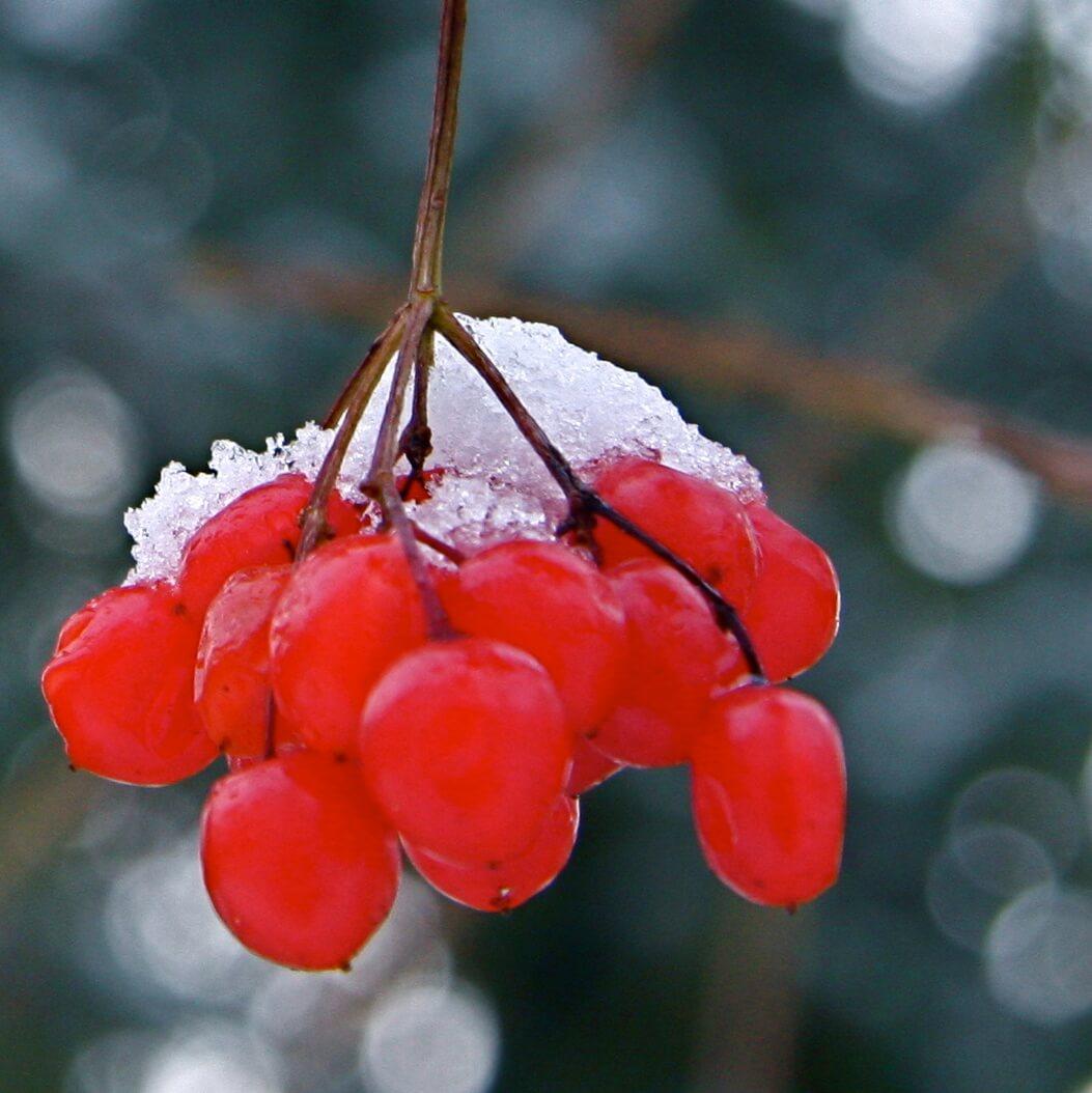 bessen met sneeuw