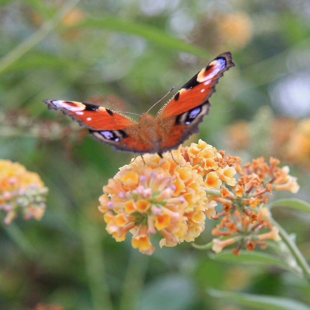 Dagpauwoog op geelbloeiende Vlinderstruik