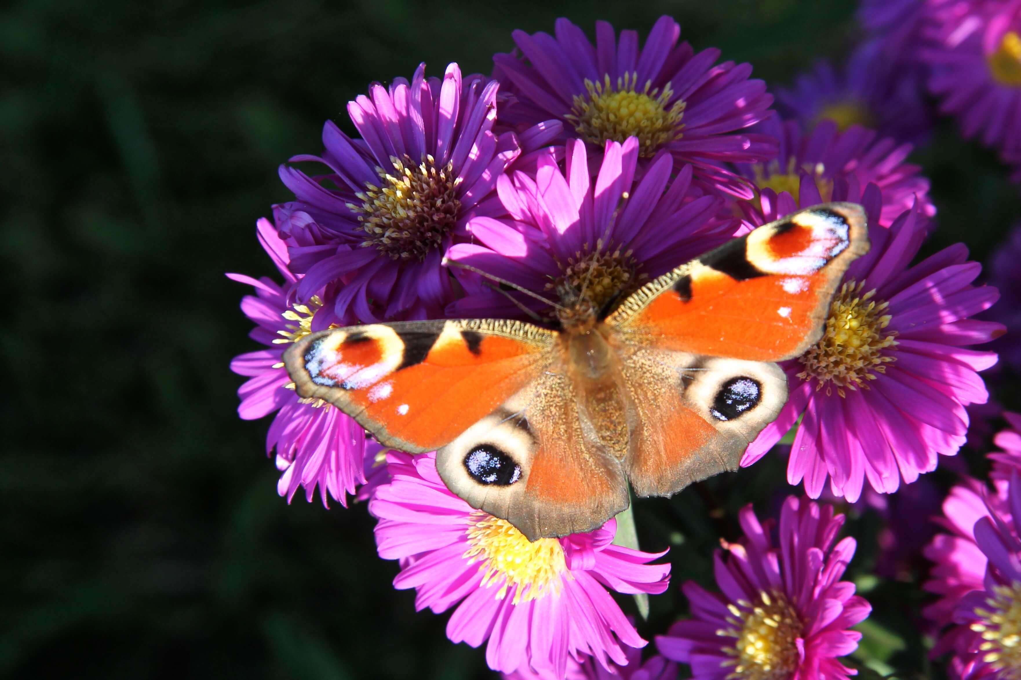 vlinder op herfstaster