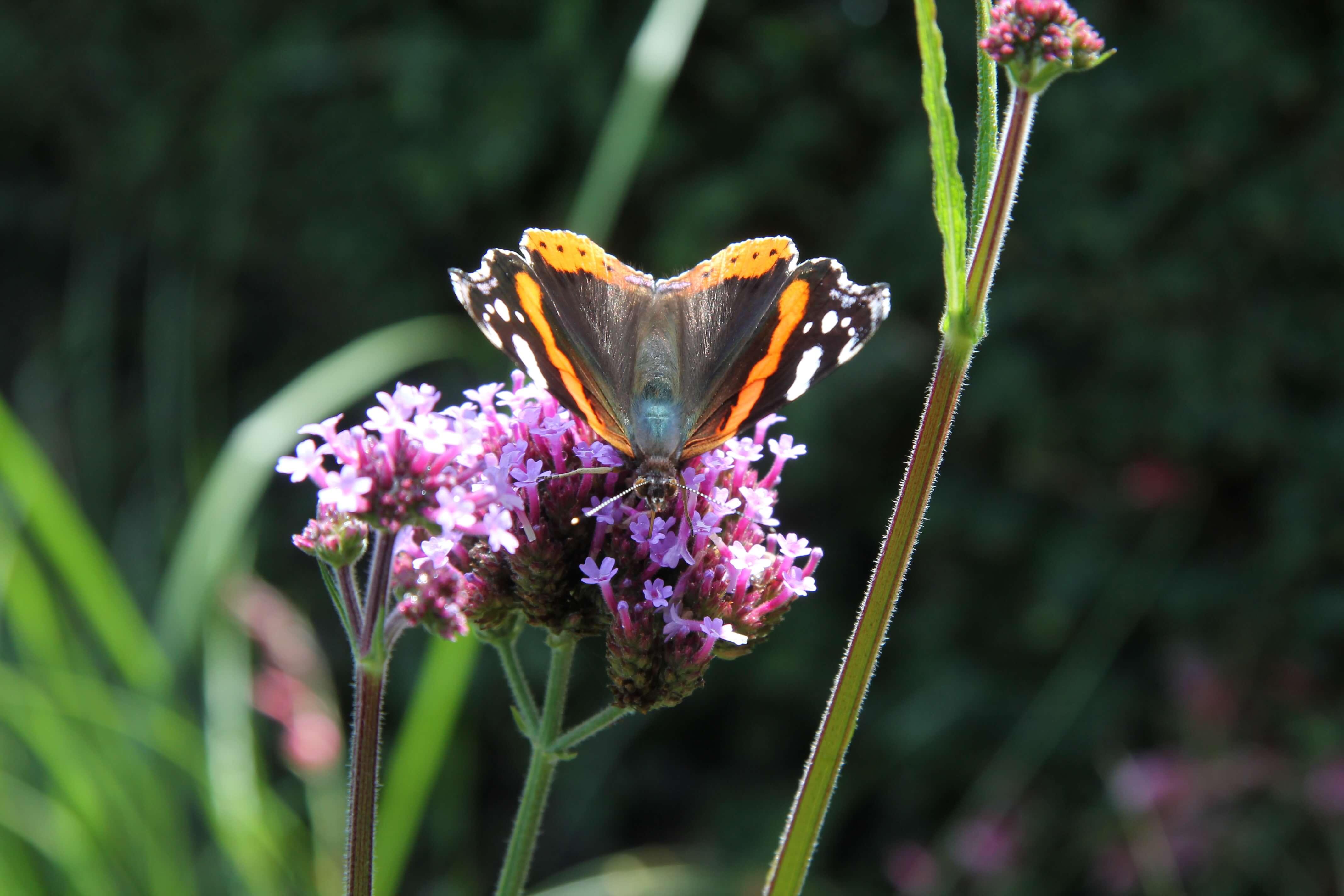 vlinder in de levende tuin