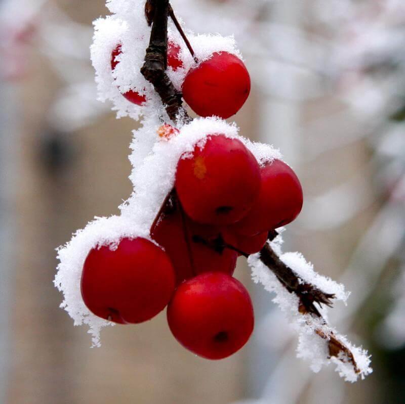 Rode appeltjes in de sneeuw
