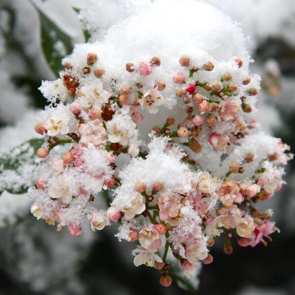 Viburnum tinus in de sneeuw