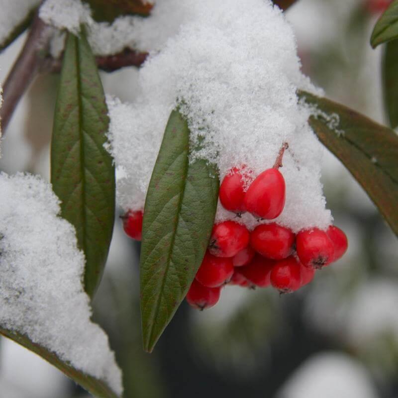 Dwergmispel in de sneeuw